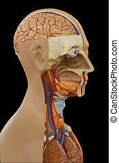 Human Body  - Educational anatomic model of a human body
