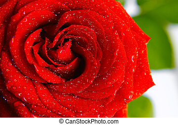shiny red rose with water drops