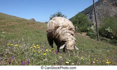 Grazing sheep on a meadow in Morocco