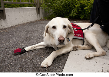 Working Dog with Service Vest On - This mild tempered...