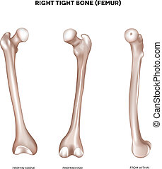 tight bone- Femur - Right tight bone- Femur. Bone of the...