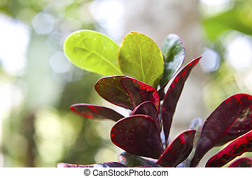 Indian spices red and green leafes taken on plantation in...