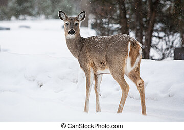 Wild Deer - A wild deer in a park on a cold winter's day in...
