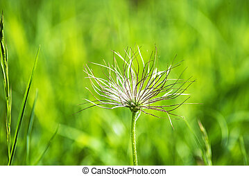 pasqueflower with fruits