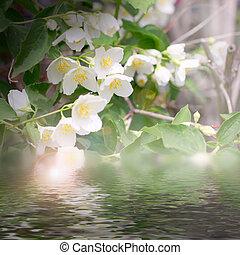 shrubbery jasmine - white flowerses shrubbery jasmine as...