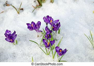bunch saffron crocus blue spring bloom snow spring - bunch...