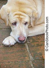 Labrador retriever dog on the floor. - Labrador retriever...