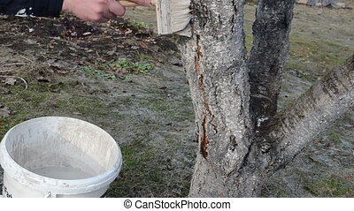 whiting fruit tree - man whiting fruit tree trunk bark in...