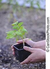tomate-jardin,  potager-plant,  De