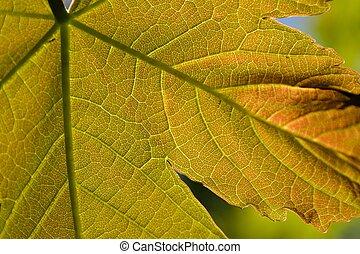 Nahaufnahme Ahornblatt - Ahornblatt aus der Naehe