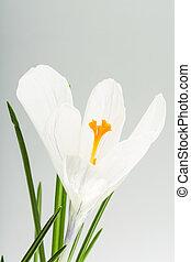 primavera, flor, Açafrão