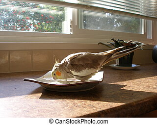 Bird Bath - Cockatiel bathing in Japanese plate