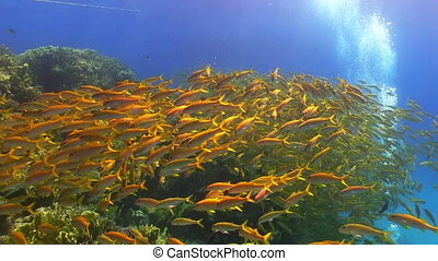 Shoal of Yellow Fish on Coral Reef, Red sea