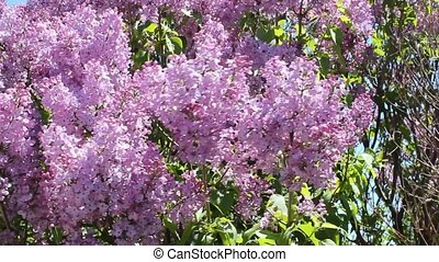 lilac blossoms - numerous lilac bush blossoms blowing in the...