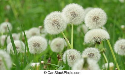 Beautiful dandelions in the spring meadow