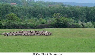 Flock of sheep in the meadow in spring