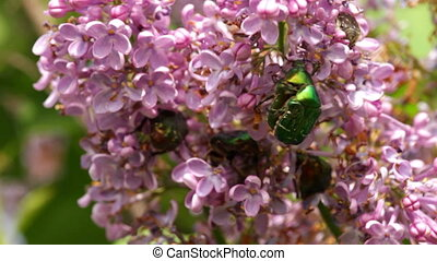 Rose chafer Cetonia aurata on the common lilac