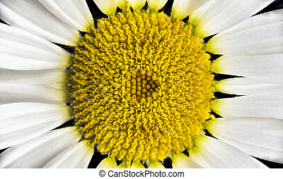 Oxeye Daisy - Small Texas wildflower with a yellow center...