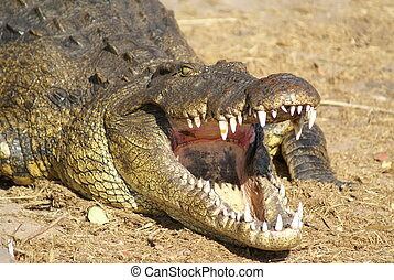 Crocodile open mouth - Crocodile on Zambezi Africa river...