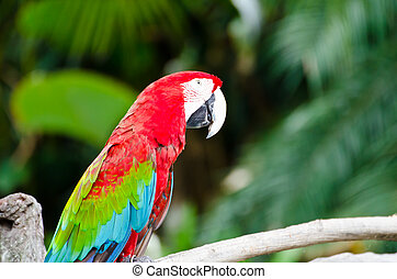 macaw parrots  - Scarlet macaw parrots in nature