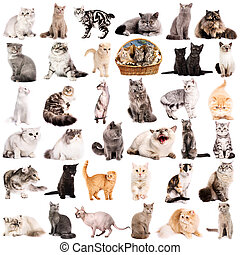 Group of cats - Group of 36 cats breeds in front of a white...