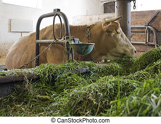 cow inside of a cow barn - head of a cow inside of a cow...