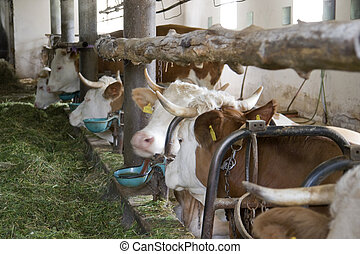 inside of a cow barn - some cows inside of a cow barn in...