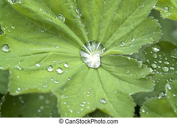 repellent leaf detail - repellent green leaf with water...