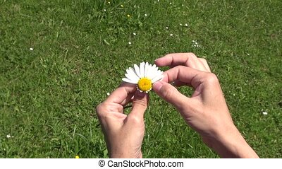 defoliating daisy 30 - woman hand defoliating a white and...