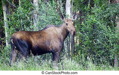 Giant Alaskan Moose Female Feeds on Leaves Forest Edge - A...