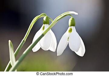 Snowdrops, primavera