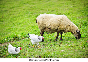 Sheep and chickens grazing on farm - Sheep and chickens...