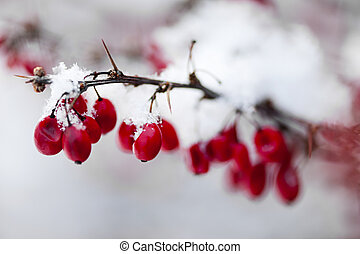 Red winter berries under snow - Snowy red barberry berries...