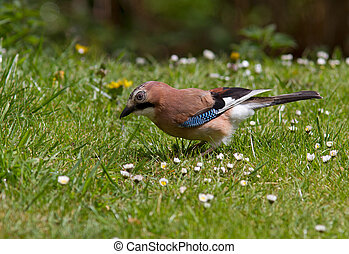 European Jay - Jay on the grass.