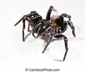 funnel web spider - a funnel web spider rearing up
