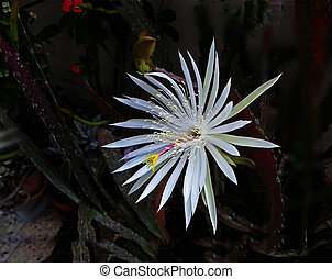 Epiphyllum cactus blooming at night
