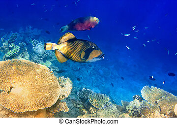 triggerfish in corals. Maldives. Indian ocean