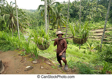BALI- DECEMBER 29: Balinese farmer on a background of rice...