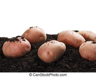 dug potatoes on the ground