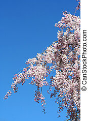Cherry blossoms against blue sky - Some Cherry blossoms...