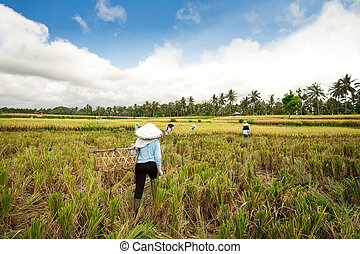 Harvesting rice - Female workers harvesting rice Bali,...