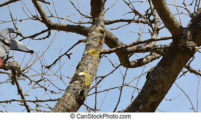 clippers tree cut - fruit tree cut trim prune with two...