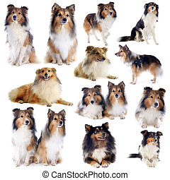 shetland dogs - portrait of a purebred shetland dogs in...