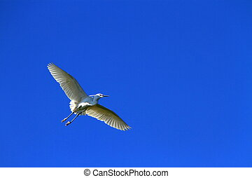 Egret bird flying - Beautiful white egret bird flying wings...