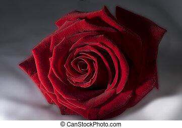 Rosa Rossa Red rose - Red Rose