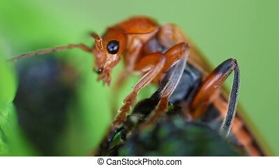 Soldier beetles - Cantharidae - Soldier Beetle - Cantharidae...