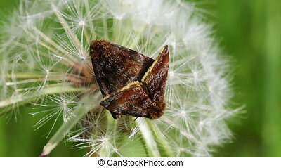 Small yellow underwing - mating - Small yellow underwing -...