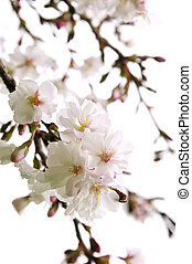 Oriental cherry blossom - Branches of oriental flowering...