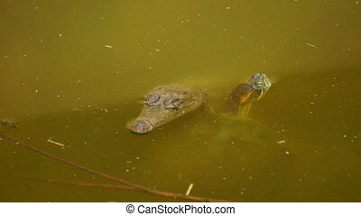 Turtle and Crocodile - A Turtle and a Baby Crocodile...