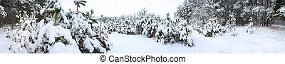 Panorama of winter forest - The panorama of winter forest in...